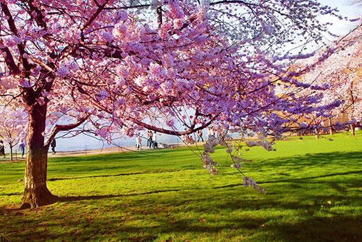 spring walk blossom